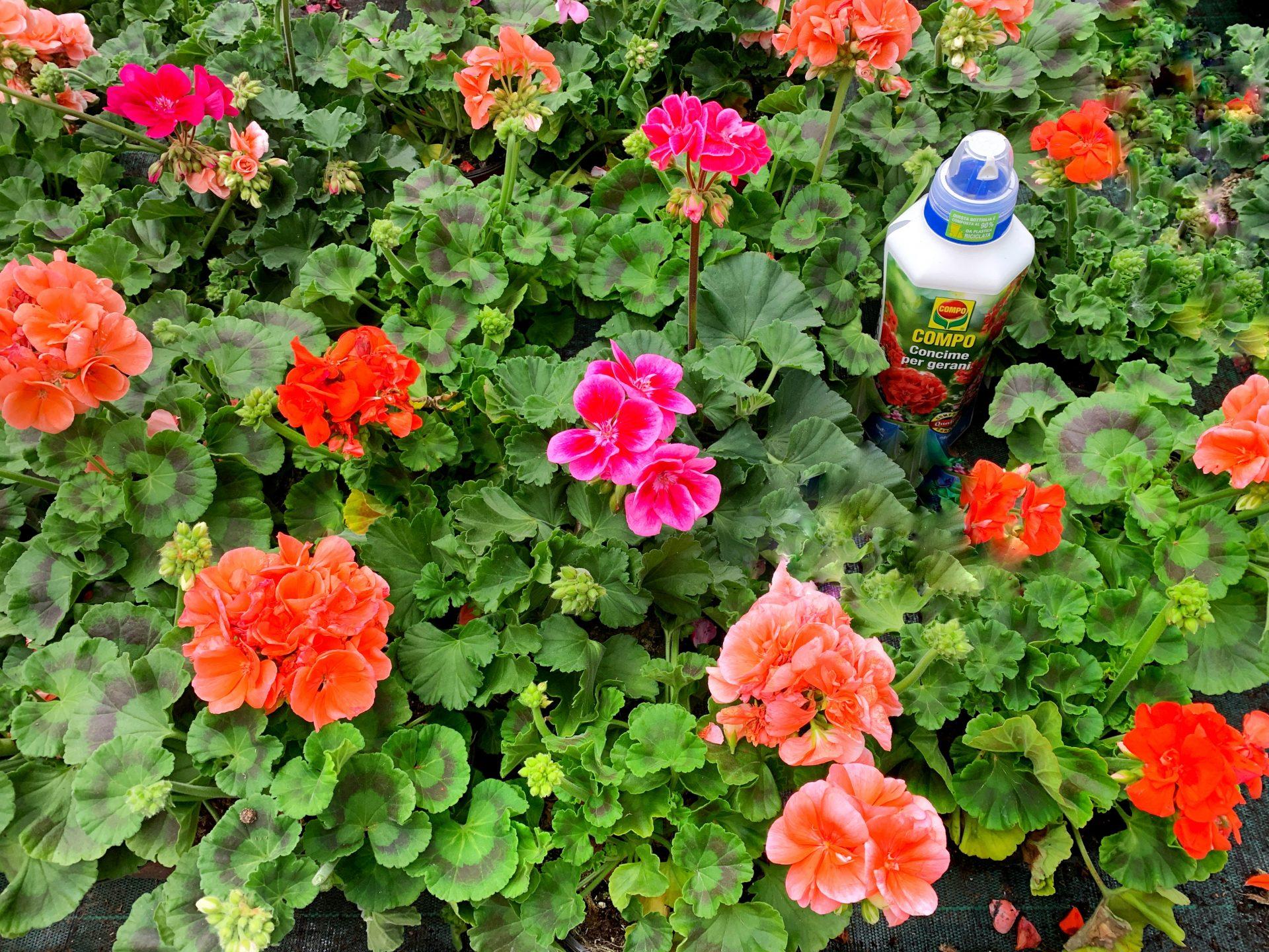 Come Curare Le Piante come coltivare e piantare i gerani in vaso | mamma gy